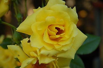 Blaa Garden juni 2008 og juli 030