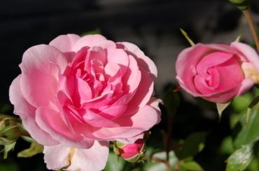 Cabin_rose