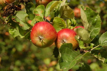An_apple_a_day