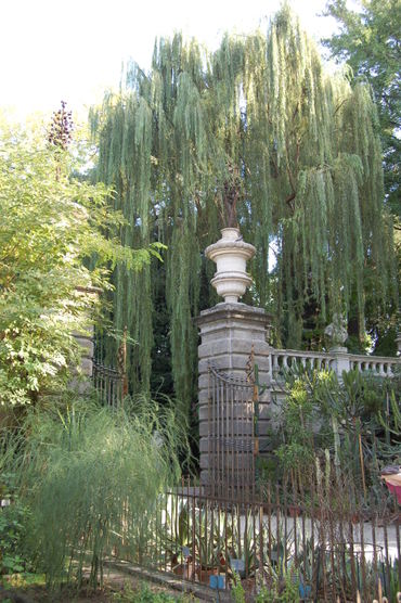 Weeping_willow_2