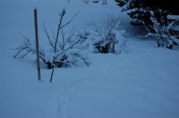 Deer_tracks