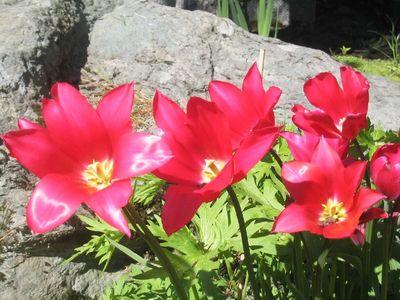 Tulipaner_1