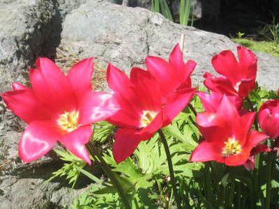 Tulipaner_2